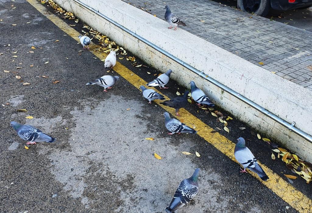 Grupo de palomas cerca de un supermercado en Vilanova i la Geltrú, el Ayuntamiento considera estas aves como una plaga, foto Villanueva y Geltrú